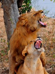 Zambia Animals - Lions